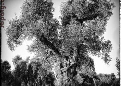 Le premier olivier, Pouilles